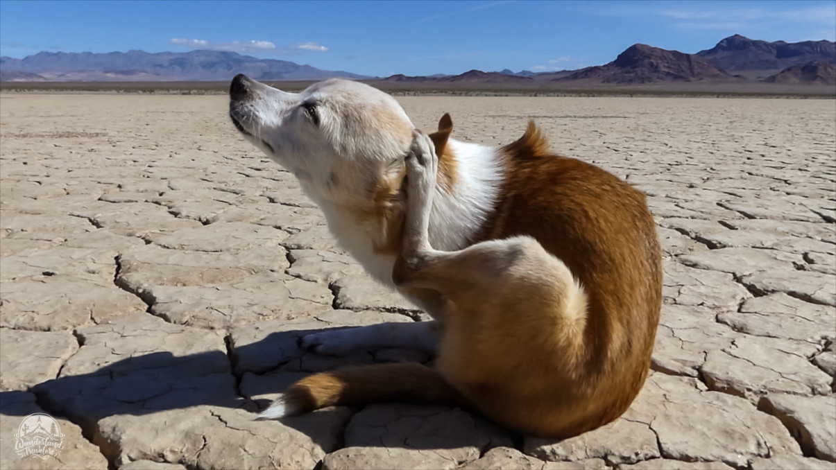 Dog scratching her ear on a dry lake bed