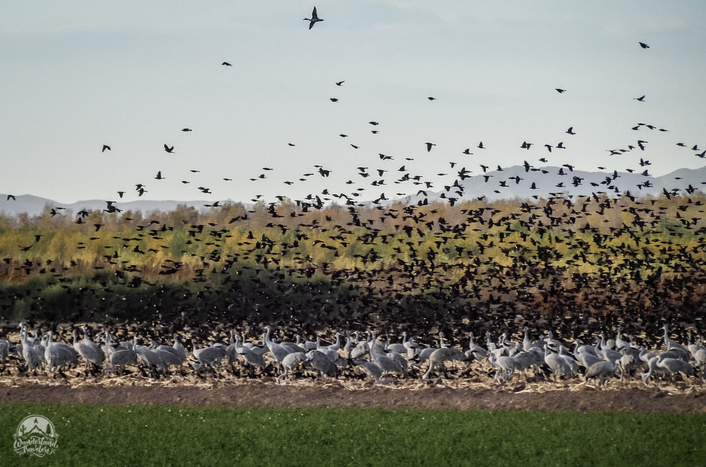 Huge flock of birds flying low