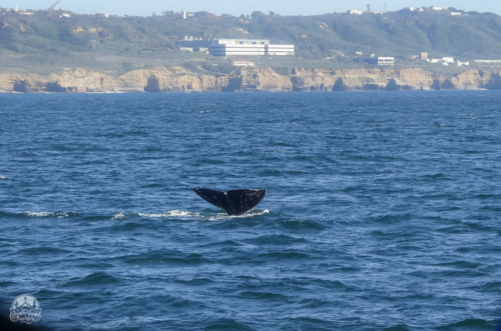 Whale flukes in Mission Bay, San Diego